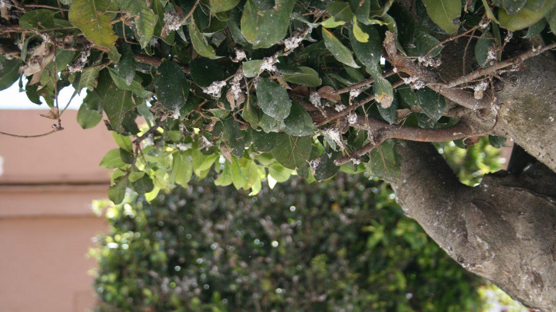 Poda del ficus benjamina cool podar ficus with poda del - Ficus elastica cuidados ...