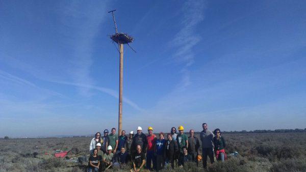 Construcción de nido de águila pescadora en Los Toruños