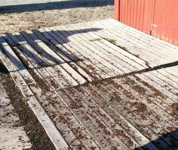 Semillas de Palmera depositadas en el suelo