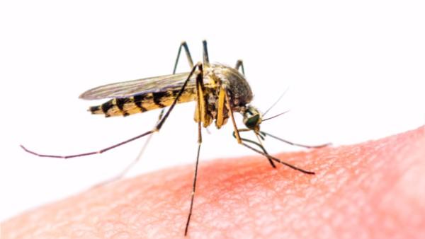 El mosquito es portador de enfermedades.