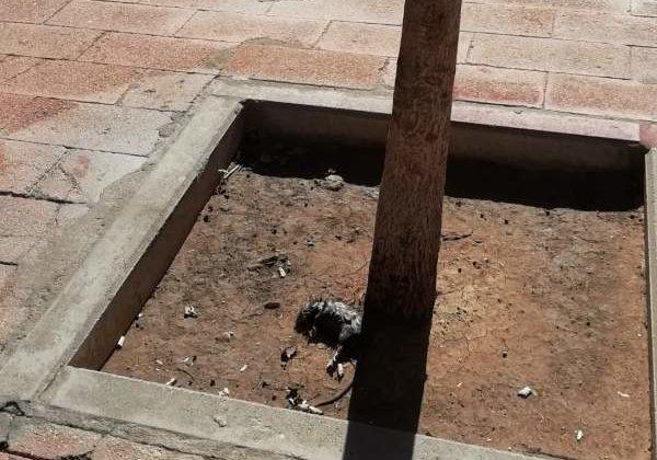 Rata muerta en el Río San Pedro.