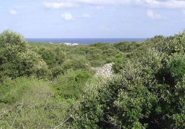 Un ullastrar menorquín, evocación del acebuchal que fue el bosque Oleastro